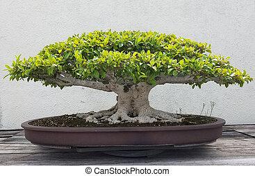 bonsai, miniatura, árvore, ficus