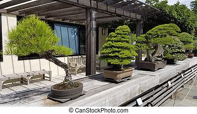 Bonsai miniature evergreen trees