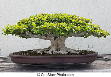Bonsai and Penjing landscape with miniature ficus tree in a tray