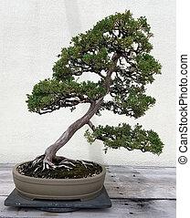 Bonsai miniature juniper