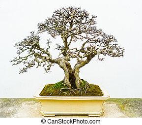 Bonsai naked tree