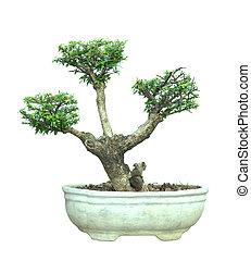 bonsai, olla, árbol, aislado, fondo., blanco, azalea
