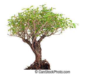 bonsai on white