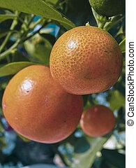 bonsai, pflanze, sevilla apfelsine, sauer, orange, früchte