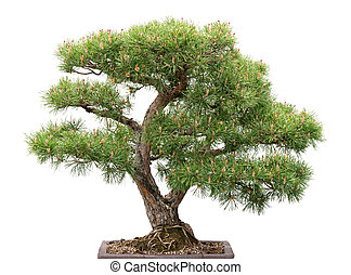 Bonsai, pine tree on white background - Scots pine. Green ...