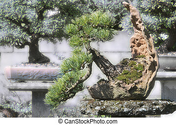 bonsai spruce in the garden, picea - spruce bonsai tree in...