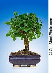 bonsai træ