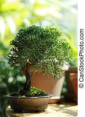 Bonsai tree in a clay pot