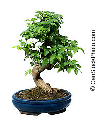 Bonsai Tree in ceramic pot isolated on white
