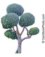 bonsai tree in garden isolated on white