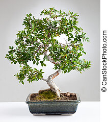 Bonsai tree photographed in the studio on gray background