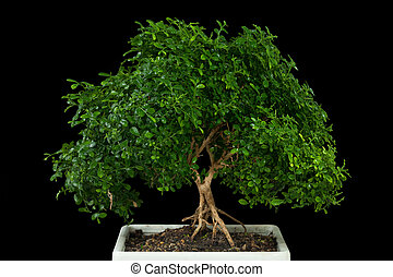 Bonsai tree with black background