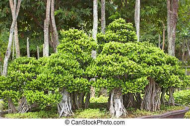 Bonsai trees.