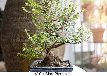 bonsai, wenig, baum, zimmer