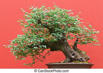 bonsai Zelkova tree