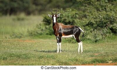 Bontebok antelope - A bontebok antelope (Damaliscus pygargus...