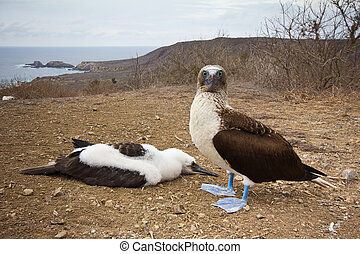 Booby with chick