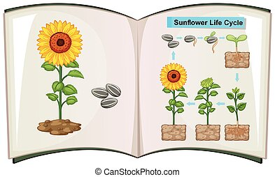 Book showing diagram of sunflower life cycle