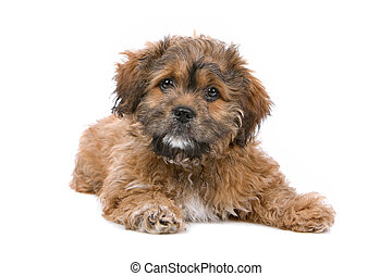 Boomer puppy in front of a white background