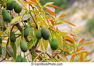 boomgaard, velen, avocado, boompje, vruchten, fris