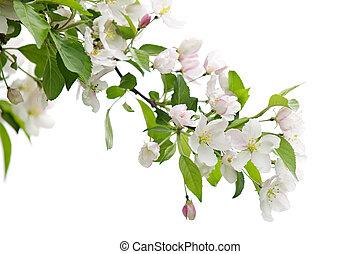 boompje, appel, tak, bloeien