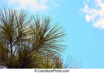 boompje, blauwe hemel, achtergrond, dennenboom
