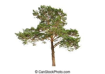 boompje, dennenboom