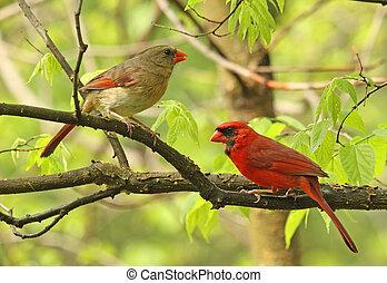 boompje, twee, kardinalen