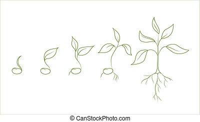 boon, groei, plant, nier, fasen