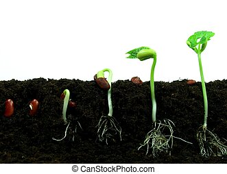 boon, zaden, germination, opeenvolging