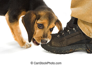 Boot lover - Cute little beagly puppy dog chewing on a...