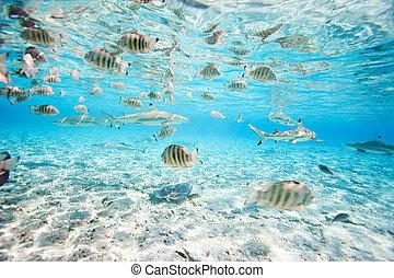 Bora Bora underwater - Fish and black tipped sharks...