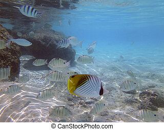 bora, francés, polynesia., curioso, angelfish, amistoso,...