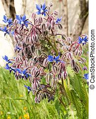 borage, borago, officinalis, starflower
