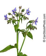borage, officinalis), (borago