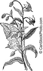 Borage or Borago officinalis, flowers, vintage engraving.