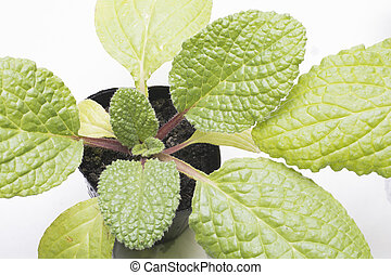 Borage young leaves growing on plastic pot