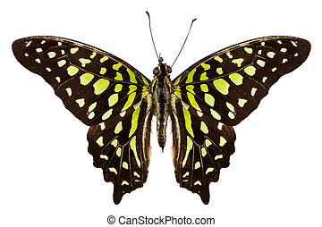 "borboleta, agamemnon, jay"", graphium, ""tailed, espécie"