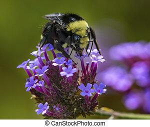 borboleta, amarela, abelha, bumble, azul, bush