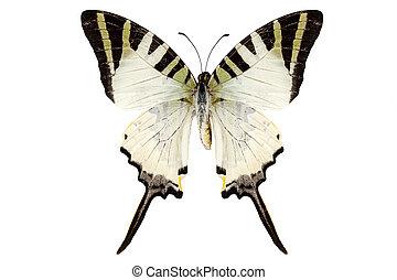 borboleta, antiphates, graphium, espécie