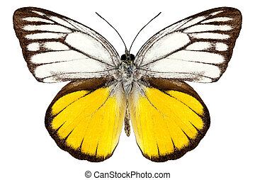 "borboleta, cepora, aspasia, ""orange, espécie, gull"""
