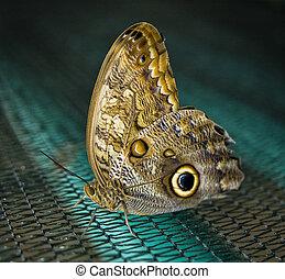 borboleta, com, dourado, olhos