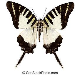 borboleta, decolor, graphium, espécie, atratus