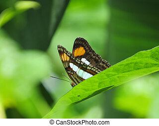borboleta, descansar, um, folha