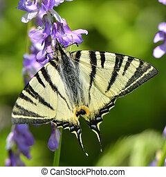 borboleta, em, natural, habitat, (scarce, swallowtail)
