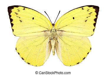 "borboleta, emigrant"", catopsilia, ""lemon, espécie, pomona"