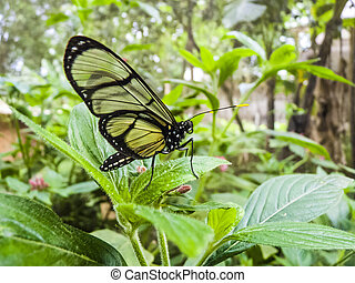 borboleta, equador, selva