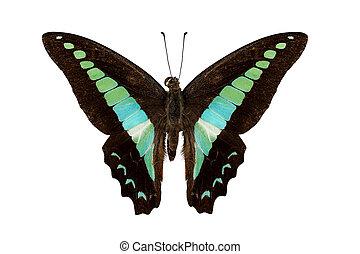 borboleta, espécie, graphium, sarpedon