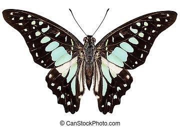 borboleta, graphium, bathycles, espécie