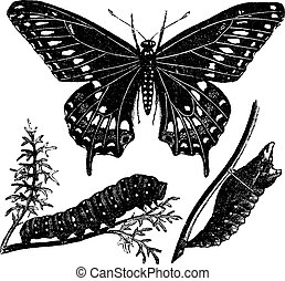 borboleta, gravura, vindima, papilio, pretas, swallowtail, polyxenes, ou